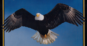 picture of eagle in flight